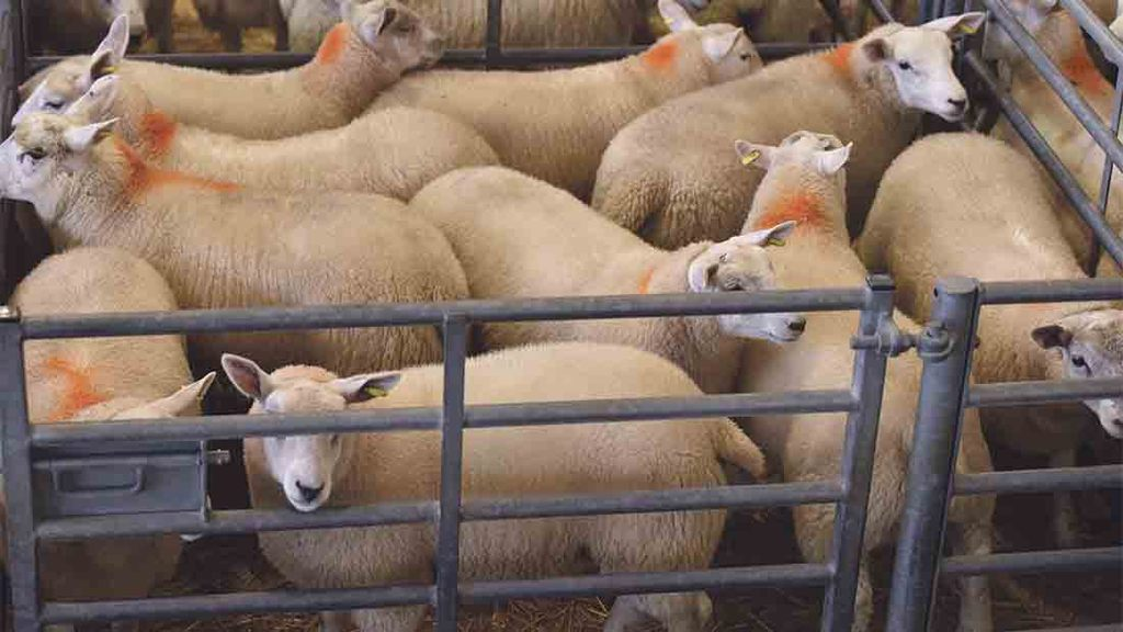 Lamb market firm despite higher numbers to market