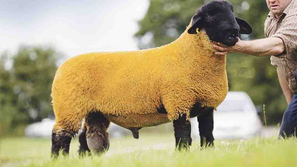 Suffolks sell to 15,000gns at national sale