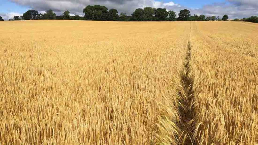 Cassia winter barley, drilled September 22nd, nearly ready for harvest - Shaun Maw, Northumberland