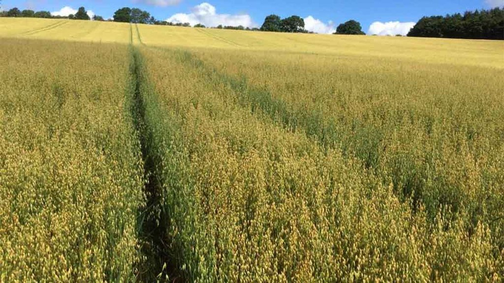 Gerald winter oats from Shaun Maw, Northumberland - 'Probably won't be high yielding but it is still all stood up which was my main concern'