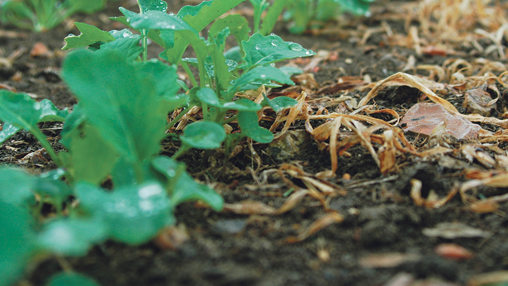 Fast establishment the focus for next season's oilseed rape crops