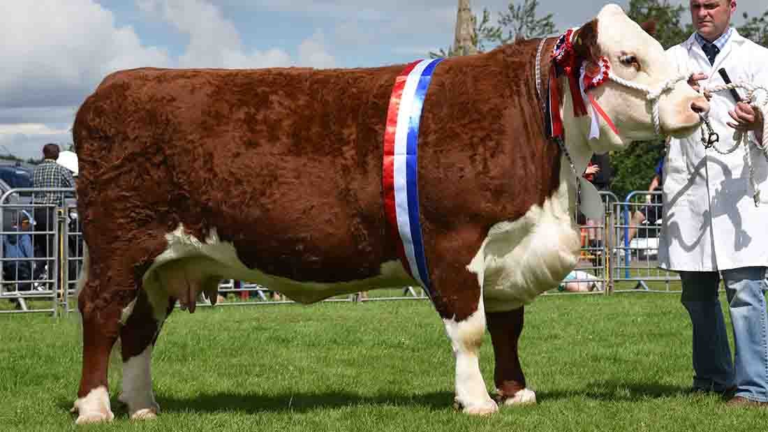 Inter-breed champion, Hereford cow Romany 1 Julia A84 from Rob and Ron Wilson, Kelso.
