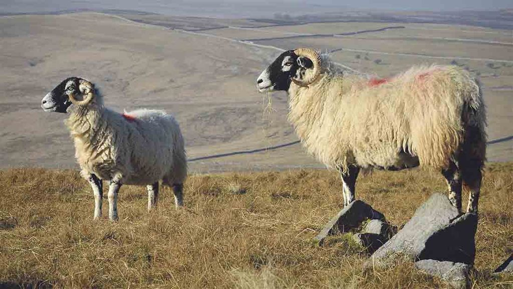 Blood test to aid sheep scab diagnosis