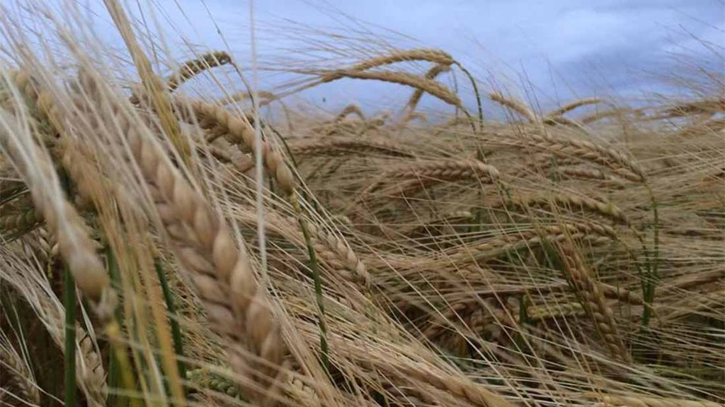 Barley desiccated in the Scottish Borders, harvest not far away