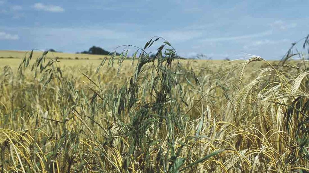 Identify bromes at harvest to target control