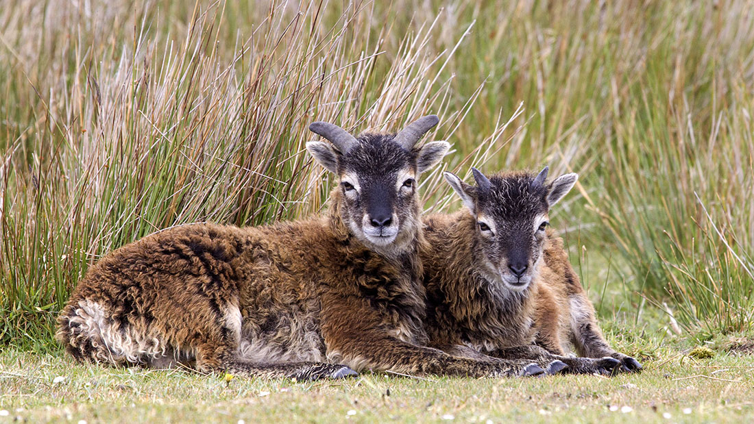 Police appeal after rare sheep shot in Scarborough