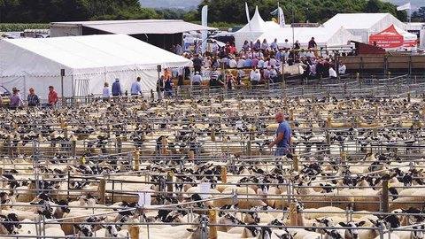 Consistent trade for Thame Sheep Fair