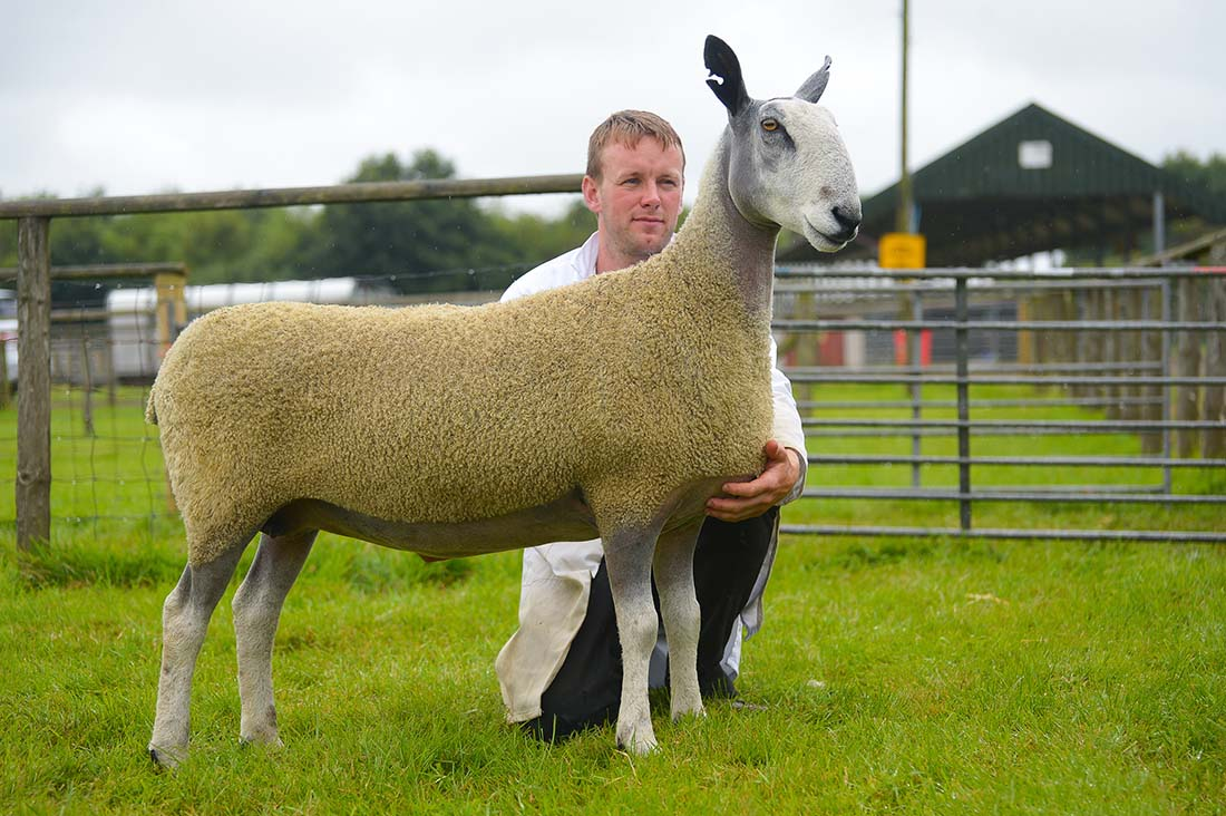 Blue Faced Leicester ewe from Myrfyn, Gareth and Jane Roberts, Gaerwen.