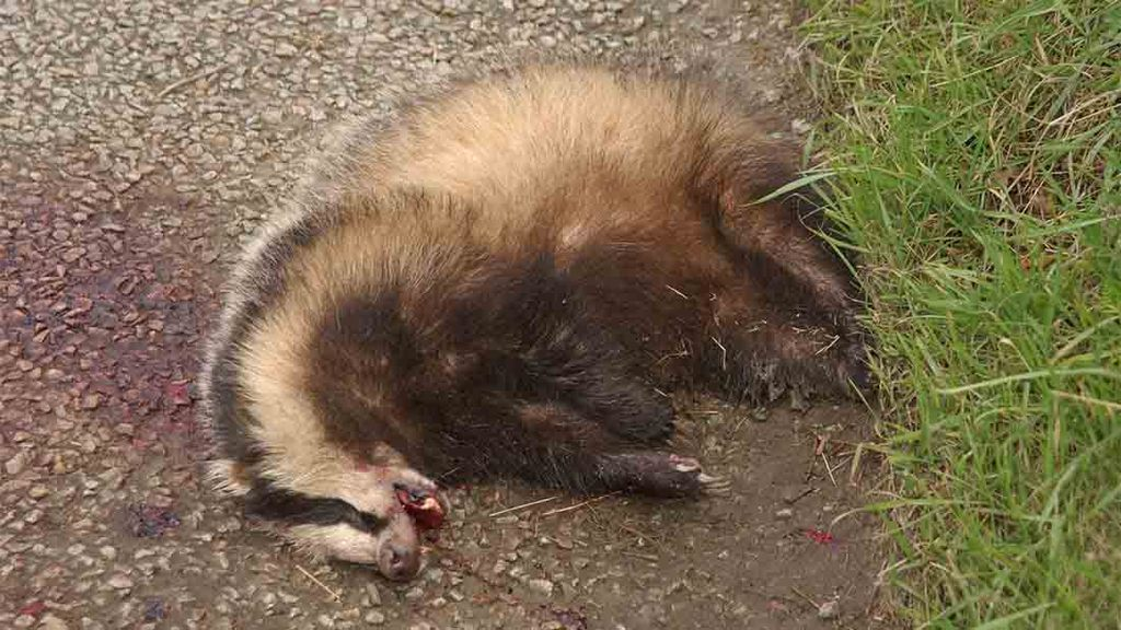 Researchers to study dead badgers for signs of TB