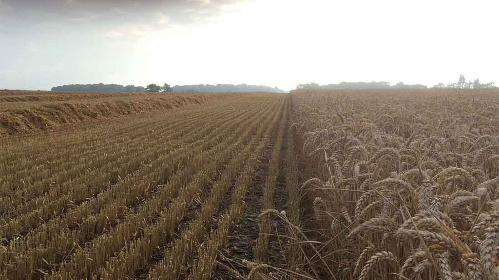 'Cracking crop of KWS Lili, harvest suddenly got a whole lot better' - Tom Bradshaw, Essex