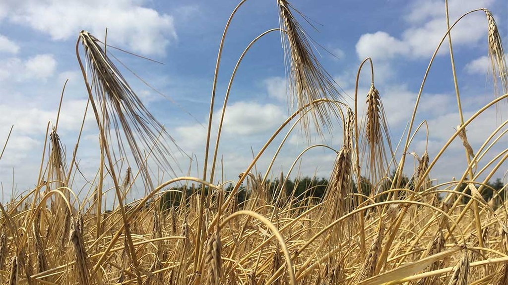 'Good crop of straw but shrivelled grain and small heads' - Mark Forster, Worcester