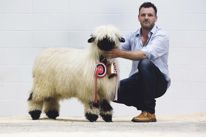 Success for first Swiss Valais Blacknose sheep show and sale