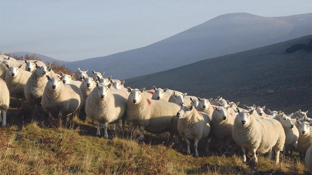 Young farmers use North Country Cheviots as stepping stone into the industry