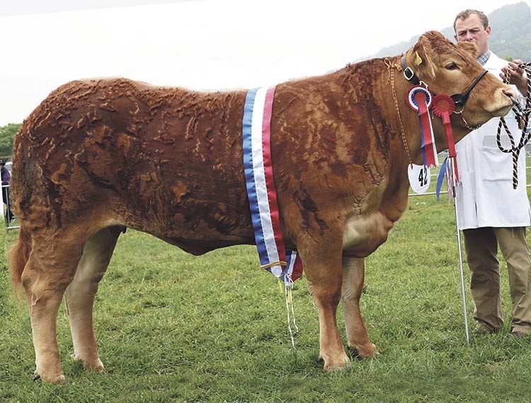 Limousin Sherry Joules wins at Monmouthshire