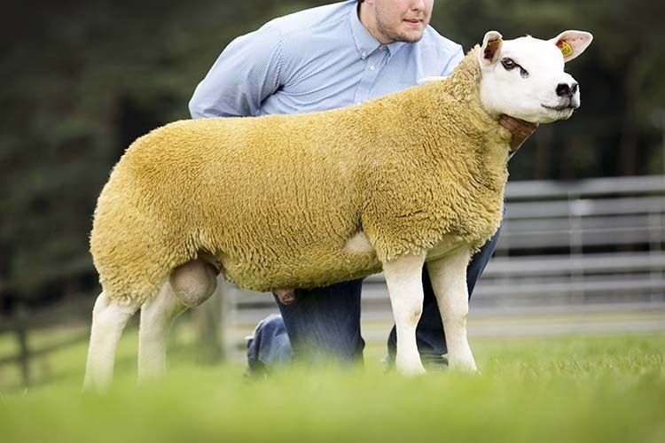 High of 3,800gns with averages up for Welsh National Texel sale