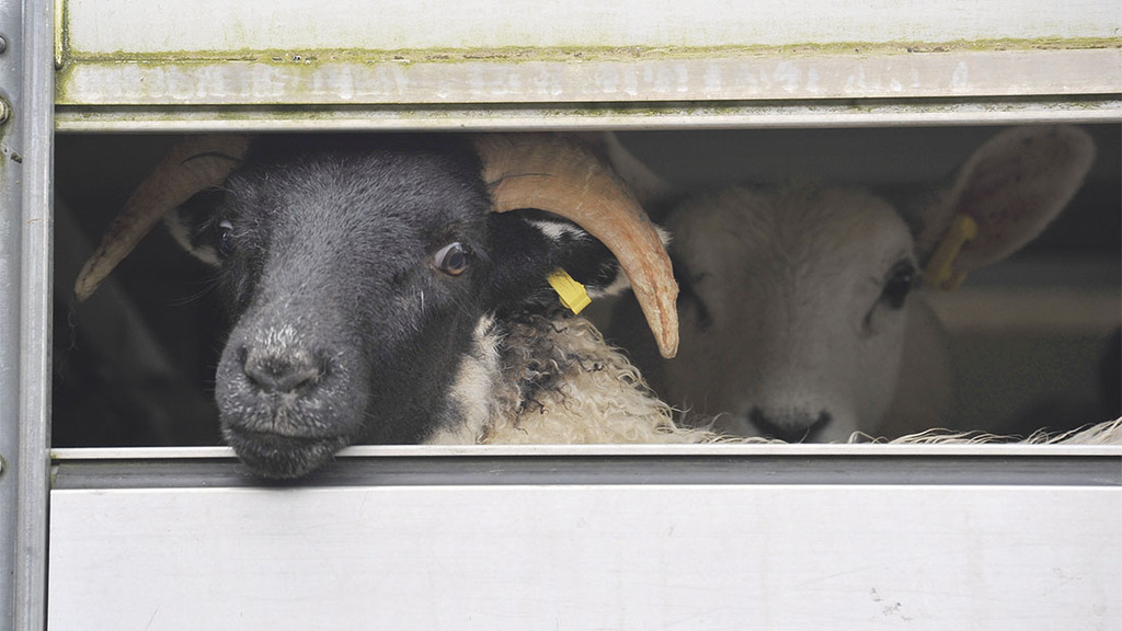 Slaughterhouse CCTV calls following damning animal welfare report