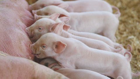 Expert reports the financial benefits of increasing sow litter size