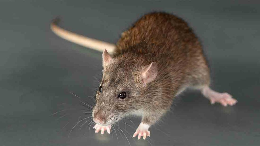 Are you qualified to use rodenticides this autumn?