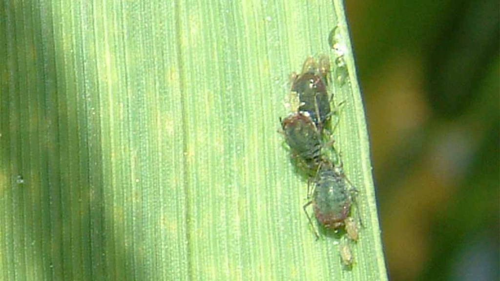 Pyrethroid-tolerant bird-cherry oat aphid recorded in Ireland