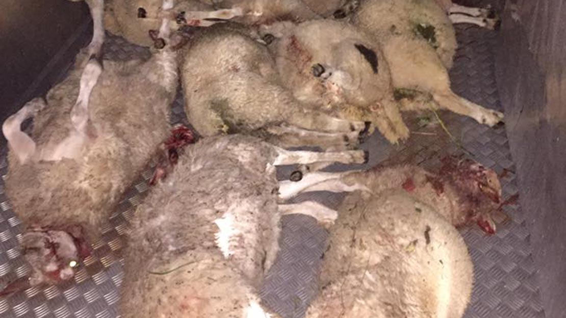 Man, 64, arrested after horrific dog attack kills 37 sheep