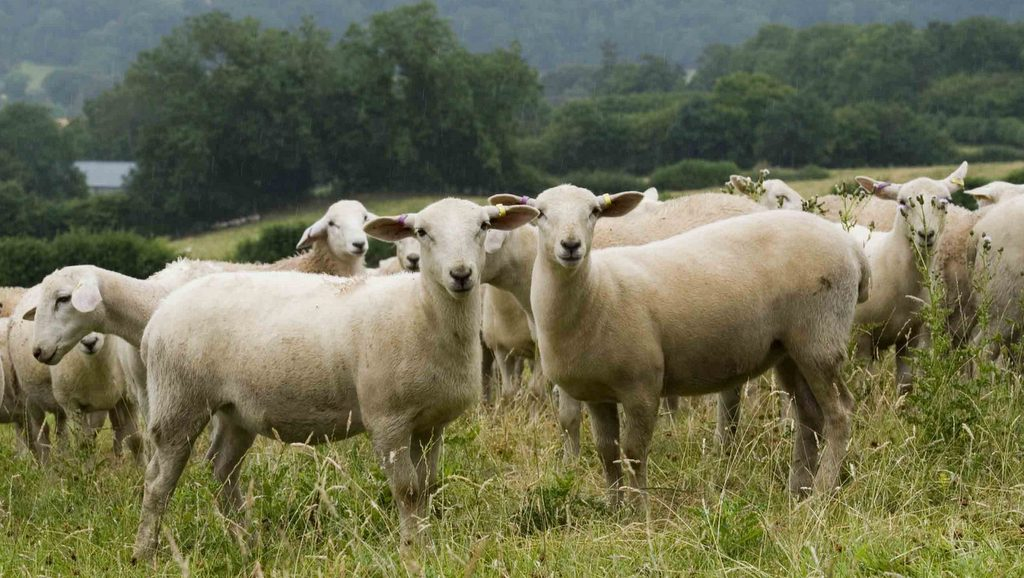 Using genetics not cosmetics to develop a hybrid breed