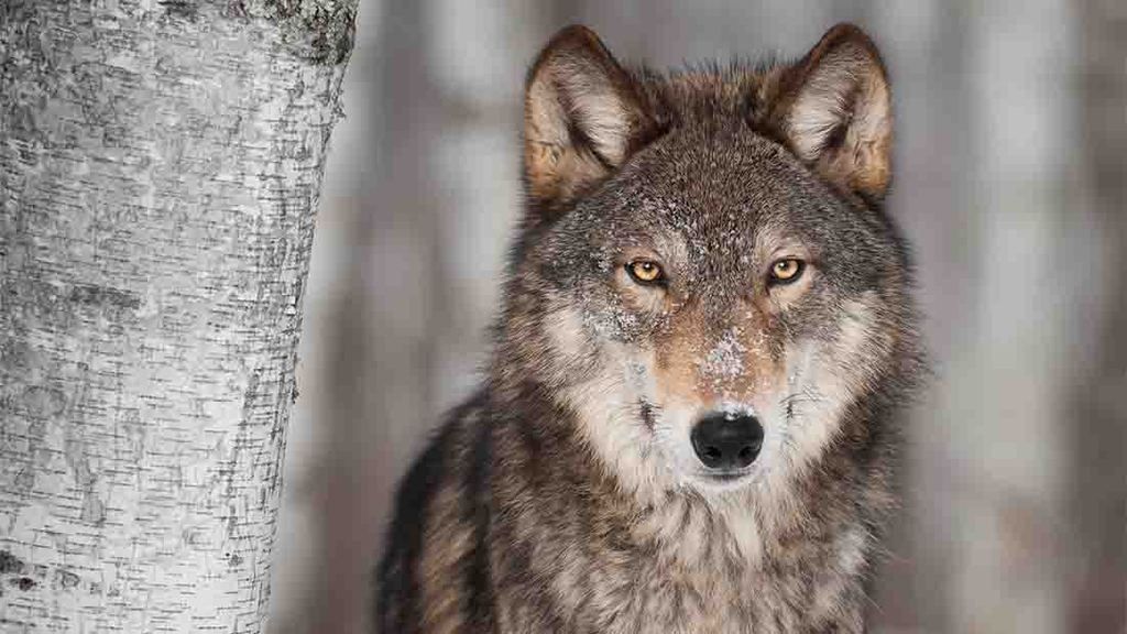 Wolves will not roam the Scottish highlands, rewilding experts tell MPs