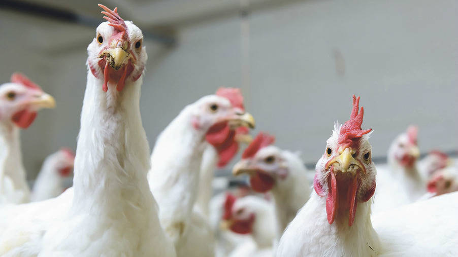 Global poultry industry 'on road to recovery'