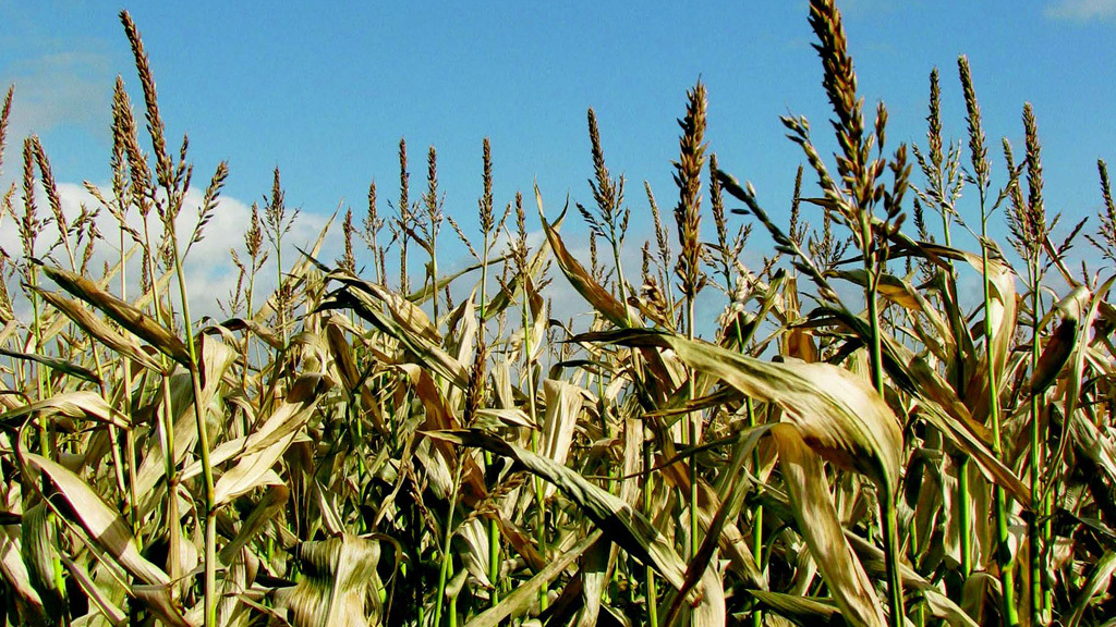 Maize Matters: Prospects for this year's crop