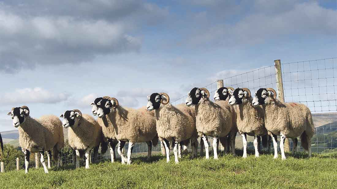 The stolen sheep were Swaledale Gimmer Hoggs.