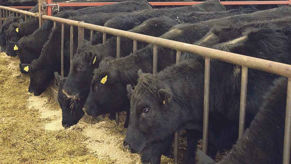 Maximising performance from beef finishing