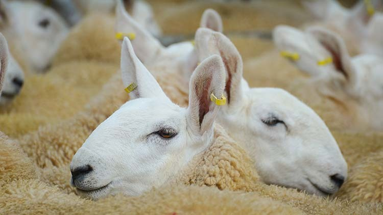 Canada trade deal brings boost for Welsh lamb exports