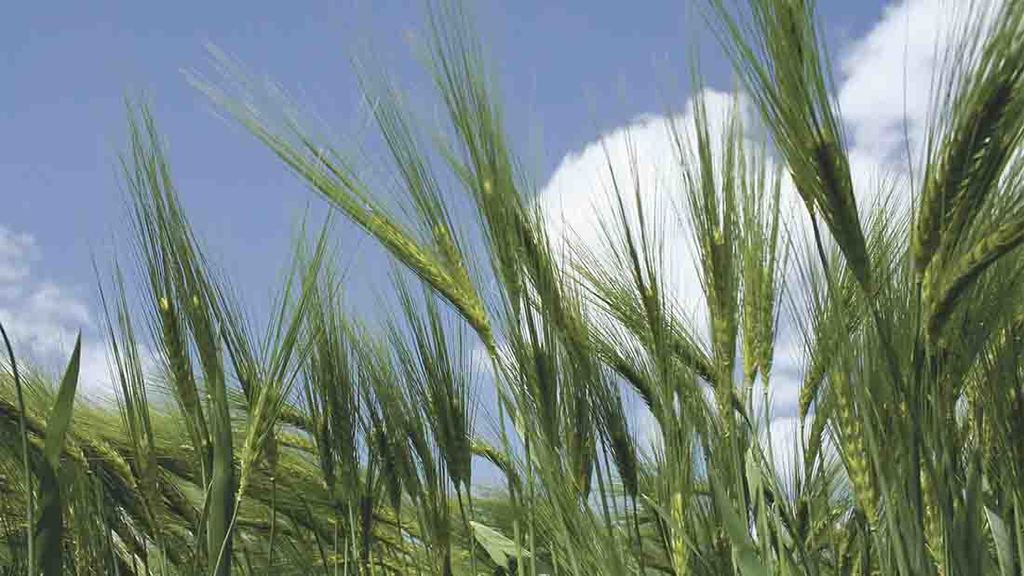 Survey predicts spring barley plantings up 17 per cent next year