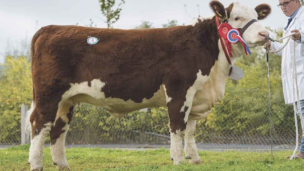 Top price female, Dendor 1 Anna Mary 26 sold for 5,200gns
