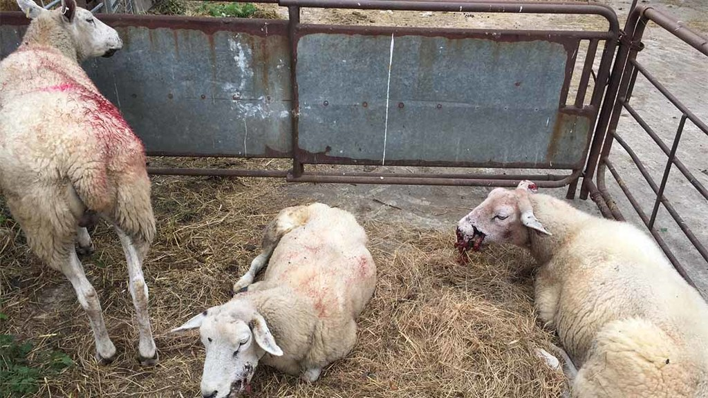 Six ewes put down after savage dog attack