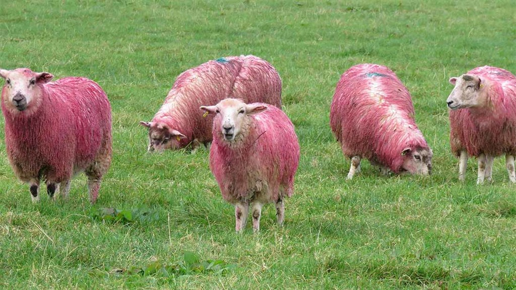 Farm shop dyes sheep pink in support of breast cancer