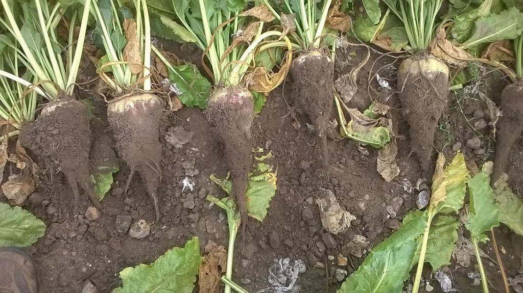 Assessing root rot levels for early harvest