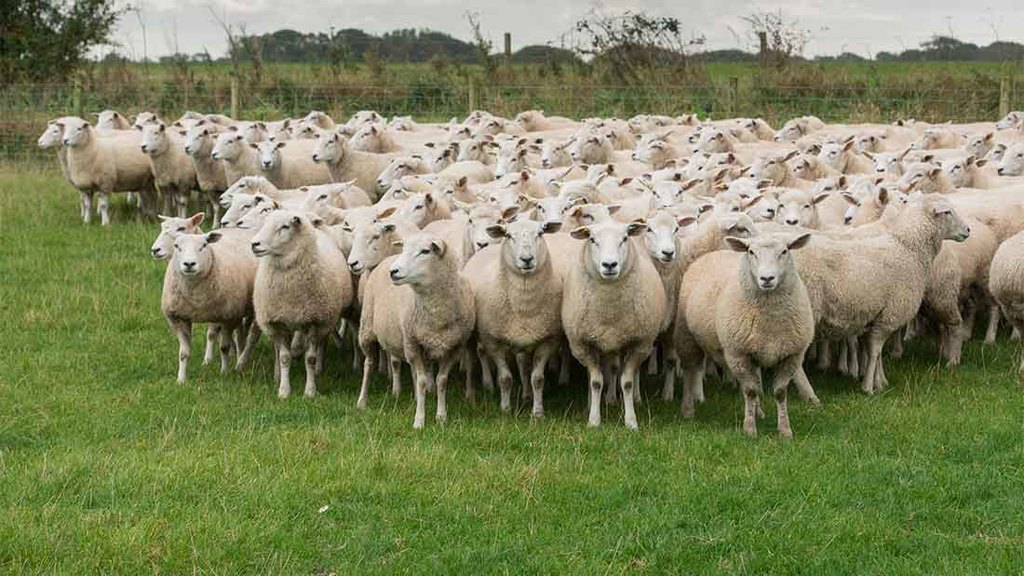 sheepflock