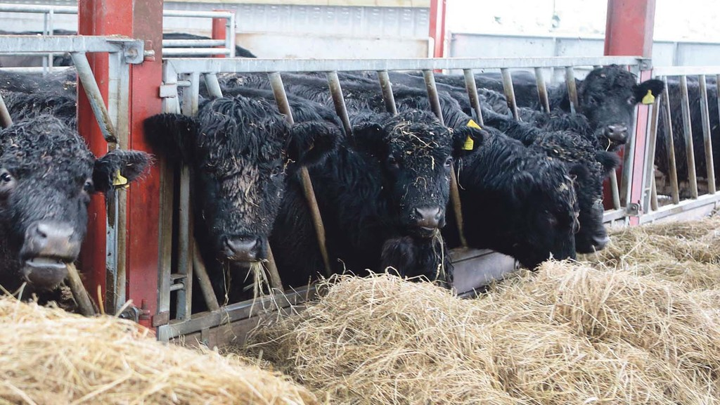 Welsh Black cattle exported to Germany following visit from German breeders