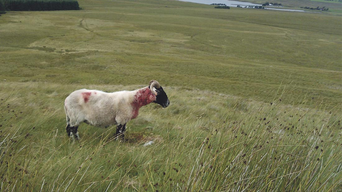Sheep worrying claims rise as 7% of dog walkers admit to letting their pets chase livestock