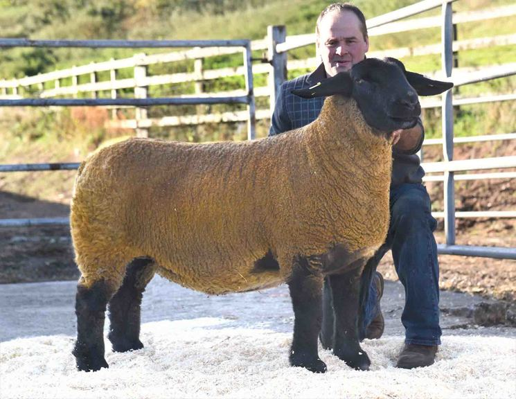A ewe from the Knockem Flock from Bryden Nicolson, Duns, Berwickshire, sells for 2,400gns.