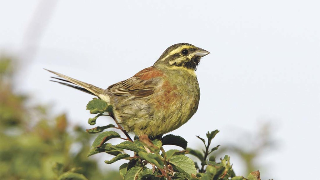 Farmers aid boost in cirl bunting numbers