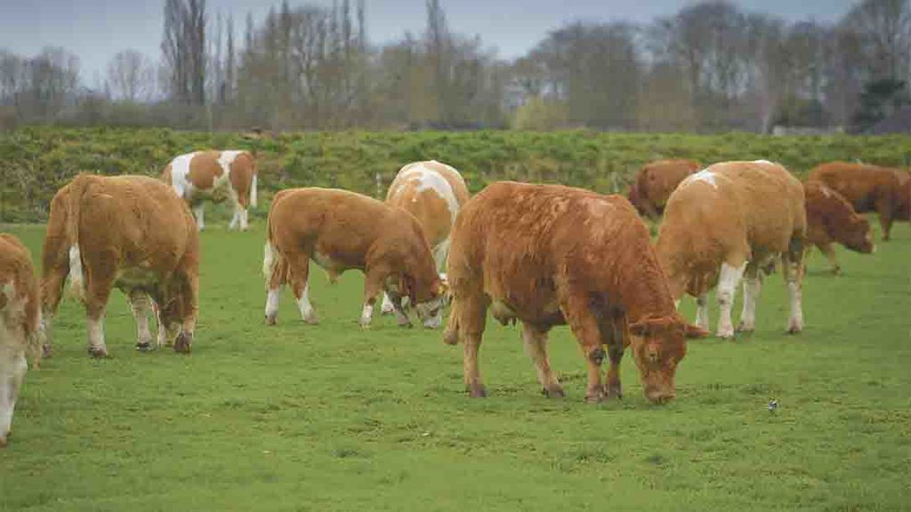 Growth pattern of cattle affects beef eating quality