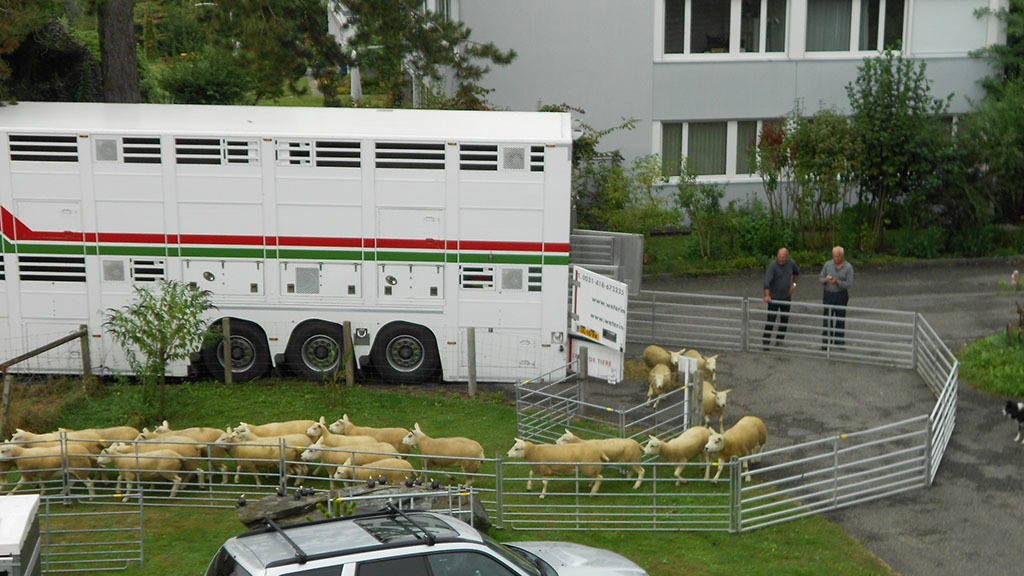 Largest single export of British Texels heads to Switzerland
