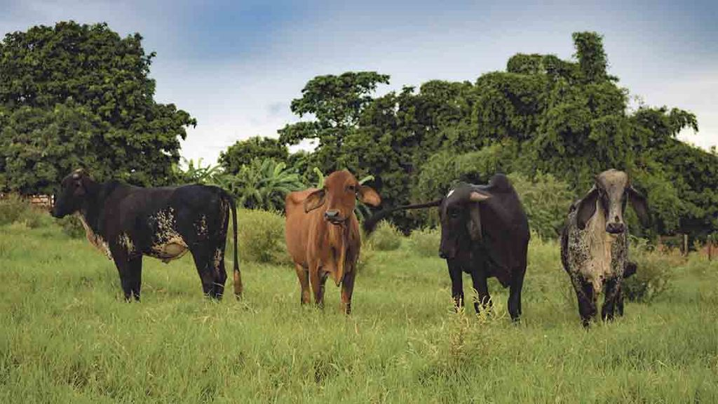 Trade deal with Latin America bad for beef farmers