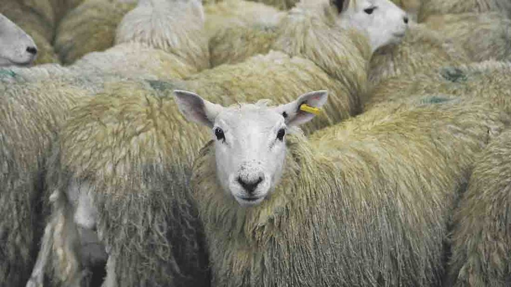 Lamb producers warned not to flood the markets