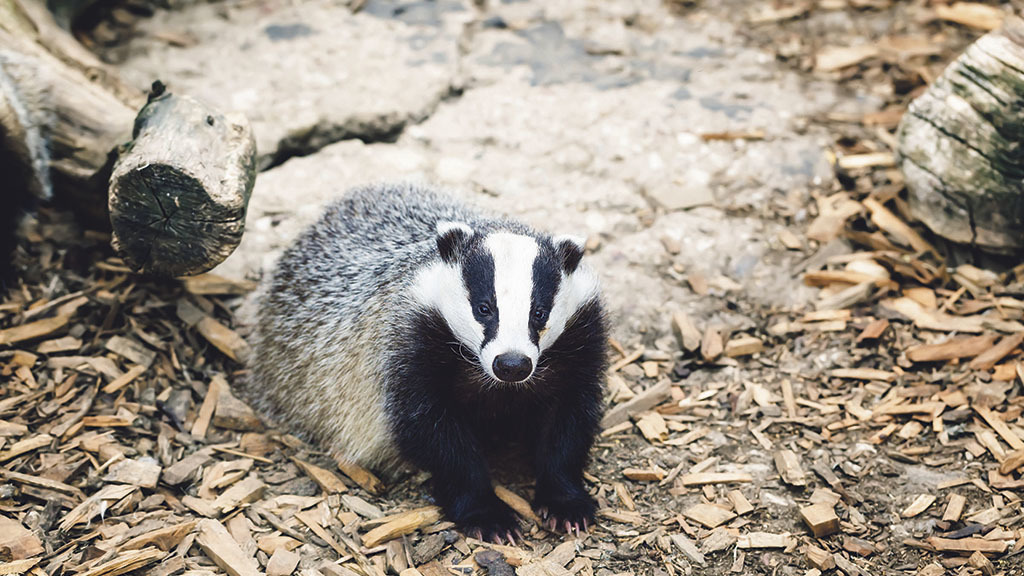 """Badgers should be taken off protected list and farmers allowed to control them on their land"""