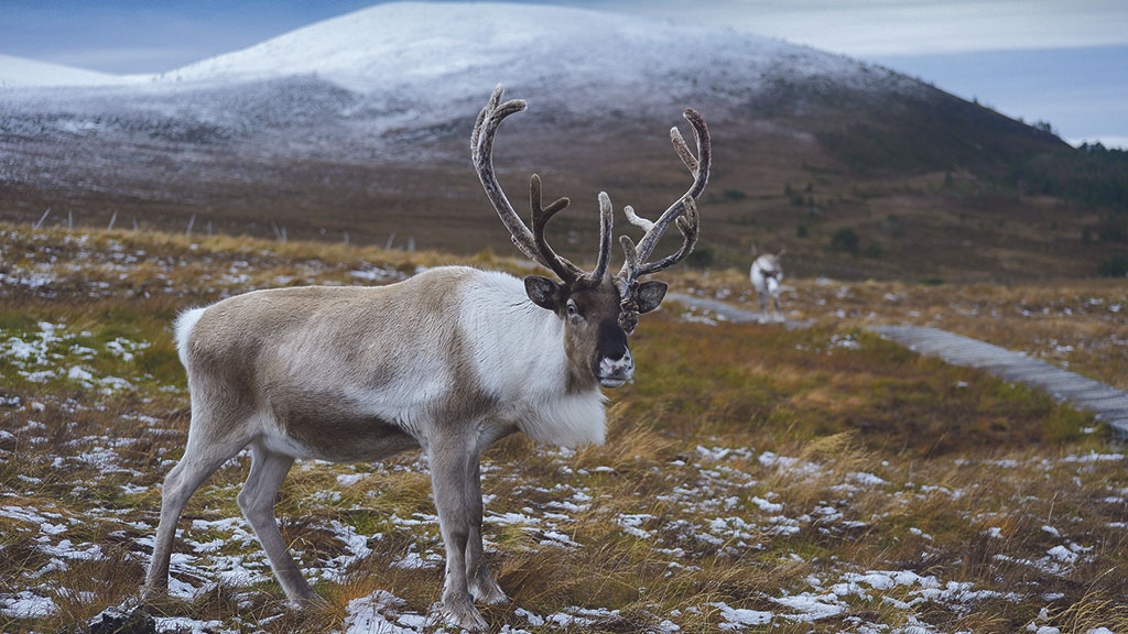 The reindeer on the hill attract thousands to the tip of Scottish border