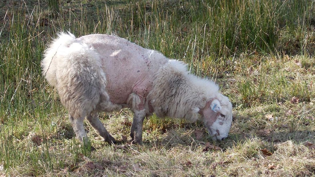 Farmer fined after pregnant ewe left for dead