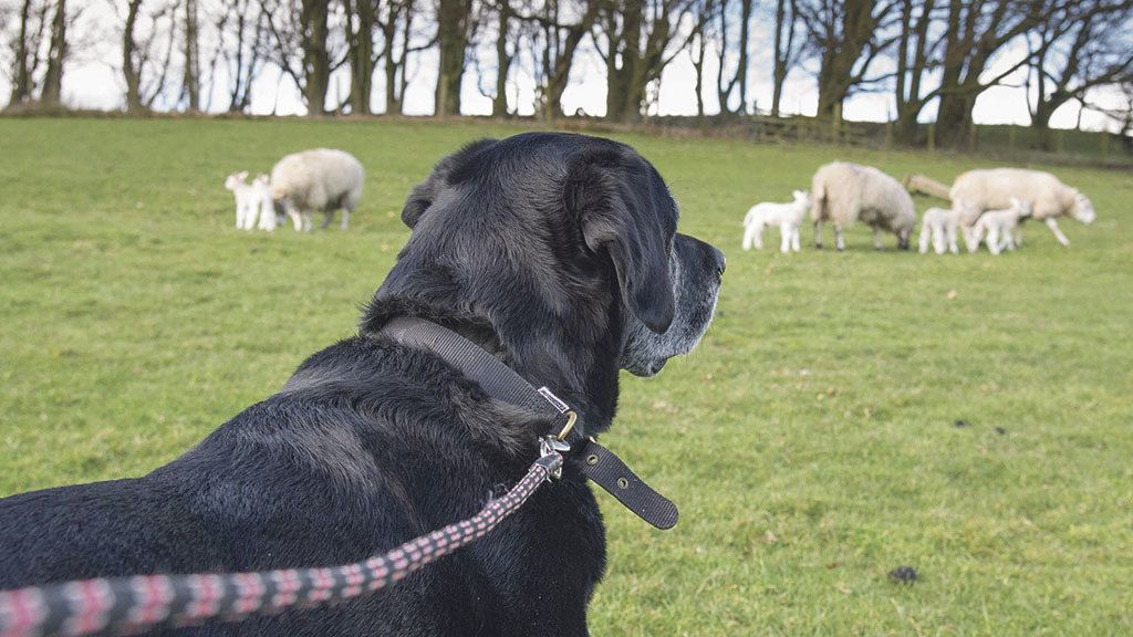 Five sheep-worrying dogs shot in two days