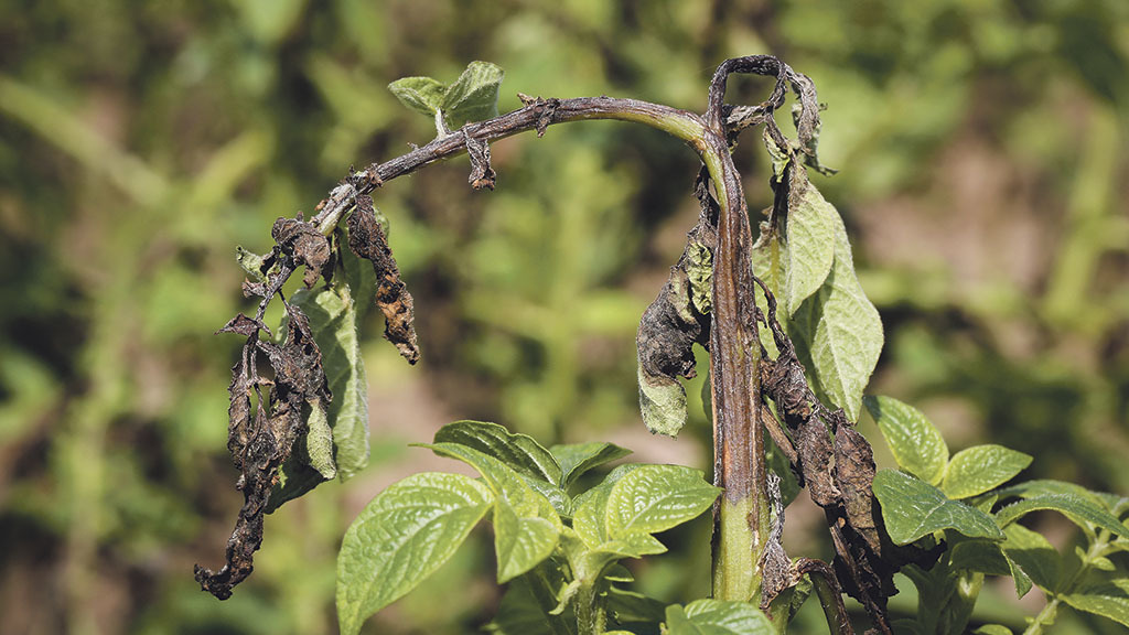 Smith Period blight alert set to be replaced